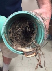 Roots in Septic Intake Pipe is an Emergency for Herring